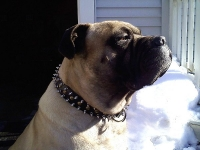 *Hooch wearing our exclusive - 3 Rows Leather Spiked and Studded Dog Collar -S55