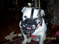 Gorgeous *Harley's  wearing our Wire Basket Dog Muzzles Size Chart  - M4light
