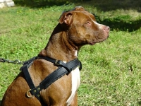 Tracking / Pulling / Agitation Leather Dog Harness For Pitbull