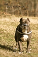 *Dave wearing our exclusive NEW Pitbull Revolution Design Wire Dog Muzzle - M9-1