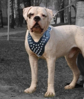 American Bulldog Spiked Dog Harness- Leather deluxe dog harness