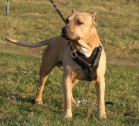 Handcrafted Padded Leather Pitbull  Harness