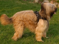 Nylon multi-purpose dog harness for tracking / pulling Briard