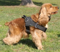 Cocker Spaniel wears All weather harness - H6