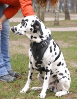 Dalmatian Leather Dog Harness- best dog harness for DalmatianDalmatian Leather Dog Harness- best dog harness for Dalmatian