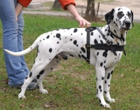 Tracking/Pulling Leather Dog Harness-Dalmatian harness