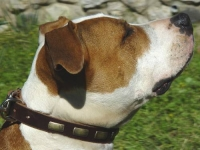Amstaff Leather Canine Collar with Brass Plates for Walking/Training - Fits Other Large/Medium Breeds