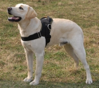Nylon multi-purpose dog harness for tracking/pulling Labrador
