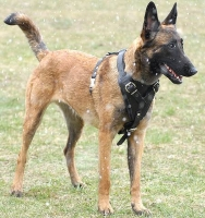 Attack Training Leather Dog Harness for Belgian Malinois