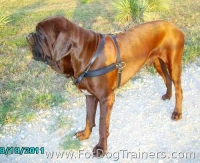 Korean Mastiff *Tiny wearing our  padded walking dog harness