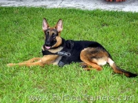 *Mace German Shepherd Looks Amazing in Better control all weather dog harness - H17