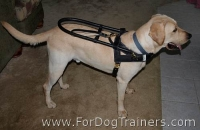 *Trapper Labrador looks happy with his Guide dog harness - H18