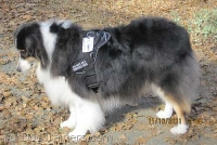 *Carly Australian Shepherd wearing our All Weather Extra Strong Nylon Harness - H6