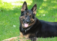 Xander German Shepherd looks happy with his new FUR SAVER - 51604(02) ( Made in Germany )