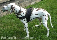 *Marcus Dalmatian looks Happy in his new All Weather Nylon dog harness for tracking / walking - H6_1