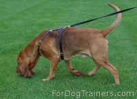 *Muldoon Bloodhound training in our Luxury handcrafted leather dog harness - H7