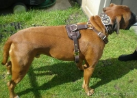 Boxer *Barney wearing his new Tracking / Walking dog harness made of leather - H3
