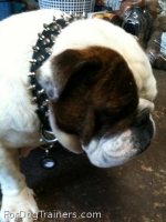 *Bruce has pleasant look in 20%Discount - 3 Rows Leather Spiked and Studded Dog Collar -S55