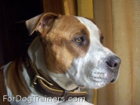 *Stevie showing off in Royal Nappa Padded Hand Made Leather Dog Collar -  C43