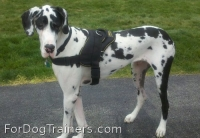 *Bentley looks adorable in All Weather Extra Strong Nylon Harness - H6