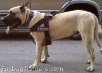 EGP Ken El Guerrero de K-Boltz and Isabella wearing Better control everyday all weather dog harness - H17