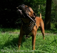 *Boris is elegant in Studded leather dog harness - H15