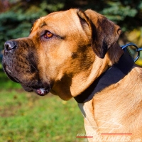 Wide Adjustable Leather Cane Corso Collar