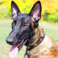 Malinois Leather Dog Collar with Fashionable Adornments