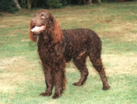American Water Spaniel   Wire Basket Dog Muzzles Size Chart -American Water Spaniel  muzzle