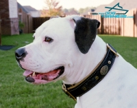 Royal Nappa Padded Hand Made Leather  Collar  for American Bulldog