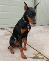 Gorgeous *Meeka Shows off Her Elegant Leather Doberman Collar