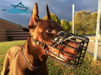 Doberman Shows off  Wire Cage Dog Muzzle for Everyday Walking and Training