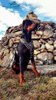 Noble Doberman Proudly Presents New Exclusive Design Studded Leather  Harness