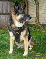 Confident *Nicky German Shepherd Wearing Padded Leather Harness