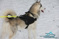 Husky looks and feels great in  All Weather Extra Strong Nylon Harness