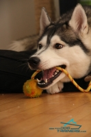 Huskies Enjoying Playing with Solid Rubber  Dog Training Ball