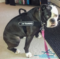 English Bulldog Wears New Perfect Control Harness with  Patches