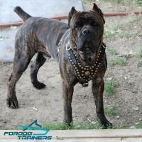 Cane Corso in Exclusive Leather Dog Harness Adorned with Studs