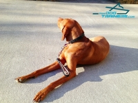 Adorable Vizsla Modeling Short Leather Dog Leash