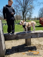 Pitty Presents Perfect for Large Breeds Leather Pitbull Harness for Agitation Training