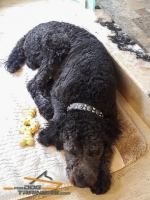 Gorgeous Poodle is Happy Owner of Exclusive Brown Leather Dog Collar from FDT Artisan