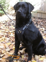 *Harley Looks Superb in Padded Leather Harness for Labrador
