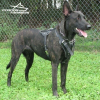 Dutch Shepherd in Super Comfortable Leather Dog Harness for Attack Training