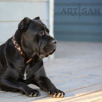 Cane Corso Looks like a Real  King in FDT Artisan Leather Dog Collar  - 'King of Grace'