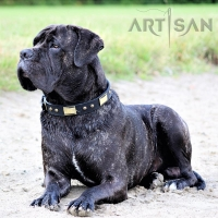 Absolutely Gorgeous Cane Corso Chief Presenting Exclusive Leather Dog Collar