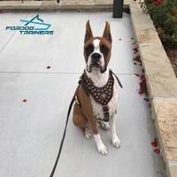 Boxer Pup with Genuine Leather Dog Leash Adorned with Braids