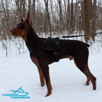 *Ruby Walking in Nylon Doberman Harness for Tracking and Training