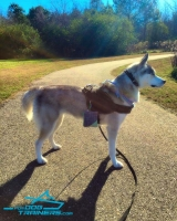 *Athena Posing in Durable Nylon Siberian Husky Pulling Harness