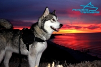 Malamute Looking Awesome in  Nylon Dog Harness for Training and Walking