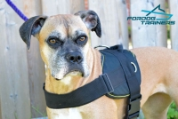 Reena Feels Super Comfy  in  Nylon Boxer Harness for Training and Walking